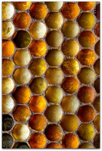 honey bee: architecture of the hive