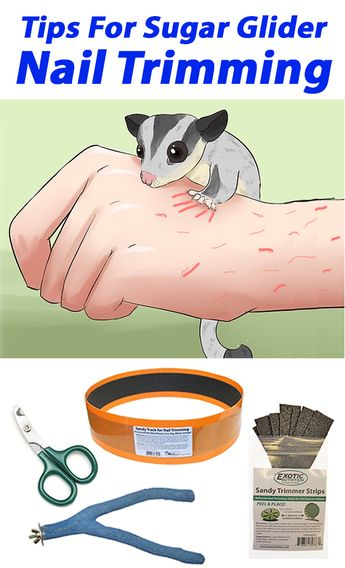 It can be dangerous to allow your Sugar Glider's nails to grow. This is why trimming your sugar glider's nails is not a suggestion, but your responsibility as an owner. See more...