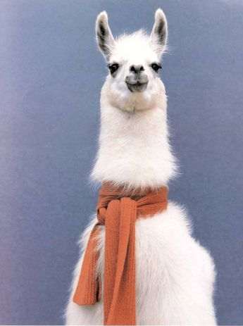 Do you know? This lama love the scarf.