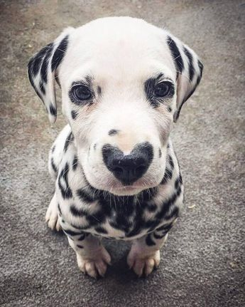 Puppy with heart shaped snoot.