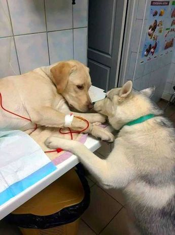 This veterinarian has a comfort-dog assistant that helps patients know that everything will be alright.