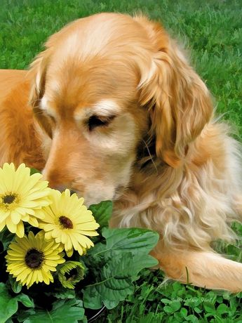 nothing better than a golden retriever. This one looks so much like my Ranger. I miss him so much!