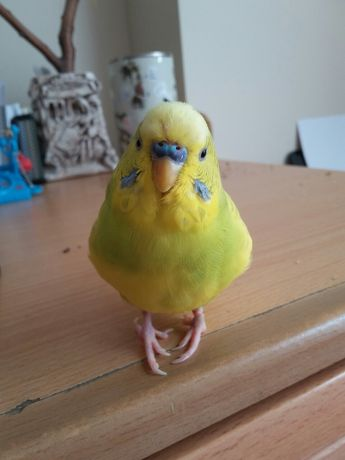 Exsibicus says: I believe in you. You can do it.  J. adds: that is one earnest and pigeon-toed budgie boy.