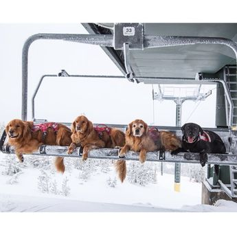 Many resorts in Northern California have a team of ski patrol dogs who are highly trained to find and rescue people in the rare case of an inbound avalanche.