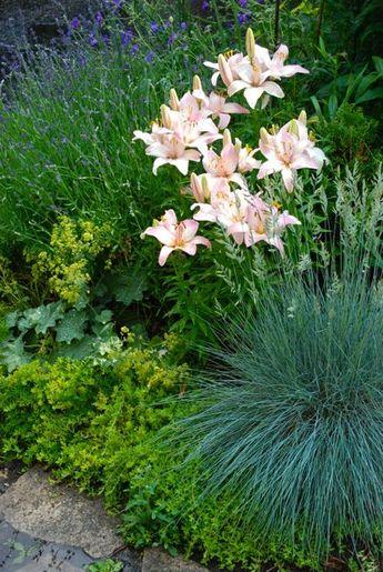 The Driveway Garden: Lavender, pink lilies, lady's mantle (Alchemilla mollis) and blue fescue (Festuca 'Elijah Blue').