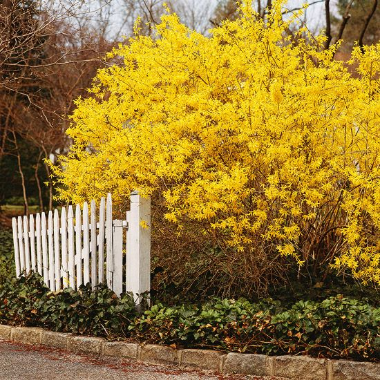 Think I'd like a forsythia in the front yard. Between my house and the one to the north. OR, put in the backyard as a border between yard and the alley.