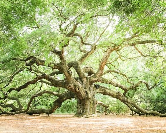 Charleston Photography Art, Low Country Print, Live Oaks, Angel Oak, Tree Wall Decor, Green Nature W