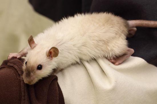 Dit onderdeel gaat over de haarstructuur harley die bij de tamme ratten voorkomt.