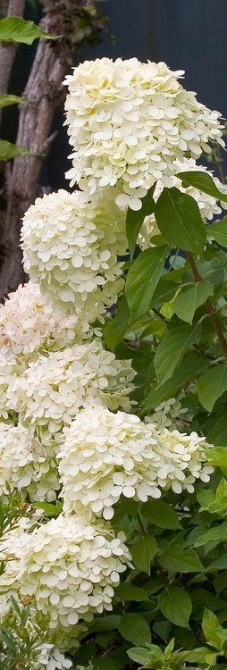 limelight hydrangea...
