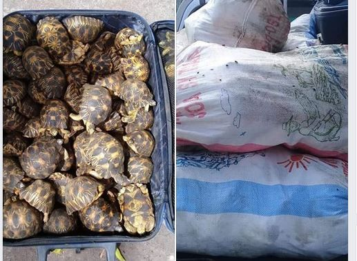 Les 350 tortues saisies à Itsandra provenaient de Madagascar