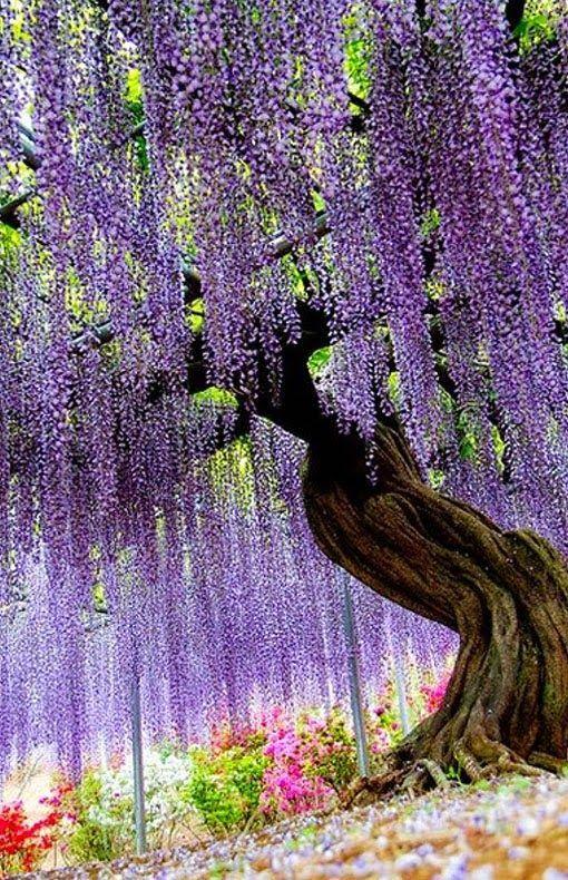 At the Wisteria Flower Tunnel at the Ashikaga Flower Park in Ashikaga City, Tochigi Prefecture in Japan.