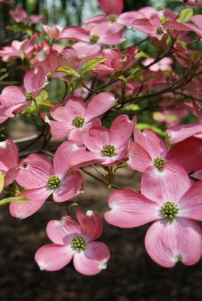 Beautiful pink Dogwood