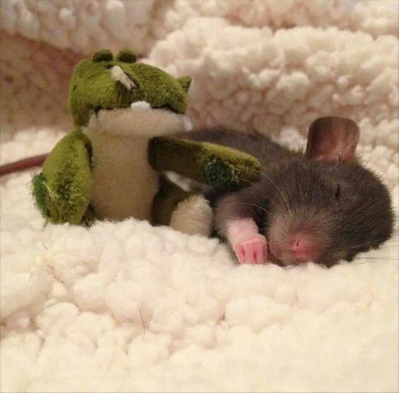 Aw <3 rat pup More