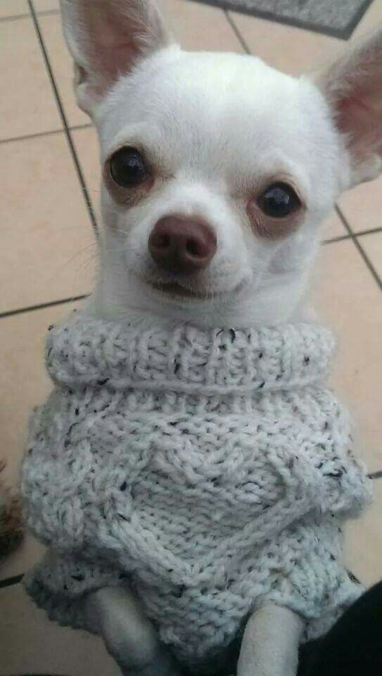 Join Jamie on facebook Jamie a little white #chihuahua ALL welcome