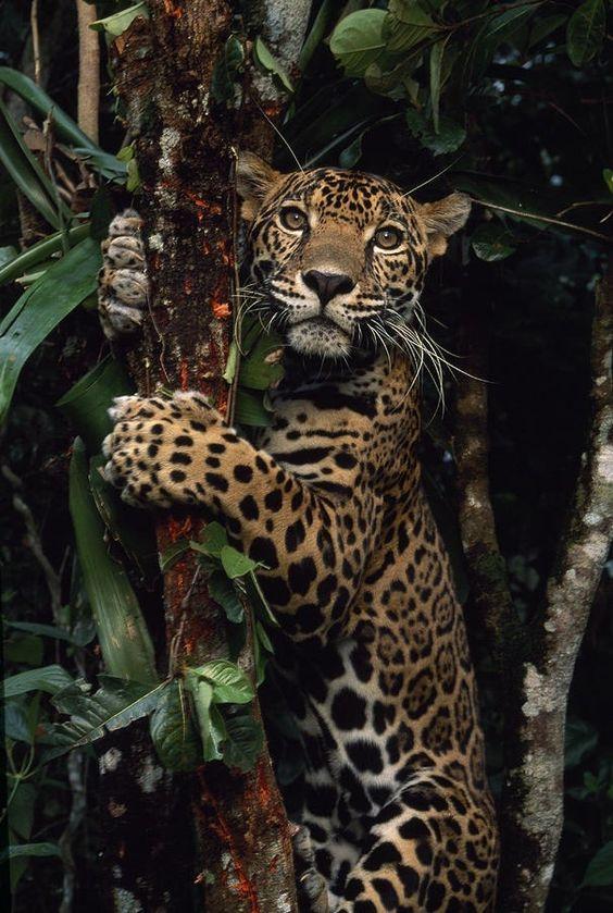 "eqiunox: "" A jaguar named Boo by Steve Winter """