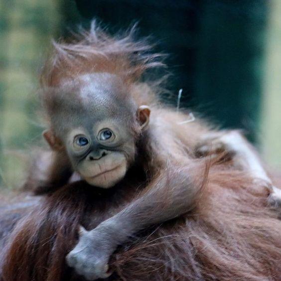"""Louemma on Instagram: """"Java sur le dos de sa maman - Bébé Orang-outan de Bornéo - 4 mois - Espèce menacée - Ménagerie de Paris #welcometoanimals…"""""""