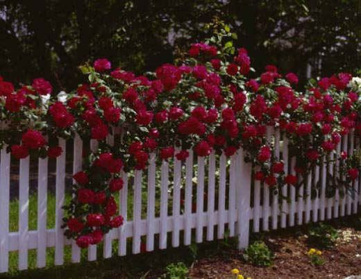 Red climbing rose atop a white picket fence.  Classic!