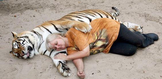 Estos 2 Enormes Tigres Juegan Como Unos Lindos Gatitos Con Su Dueña. Es Algo Impresionante.