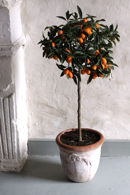 kumquat tree fortune plants