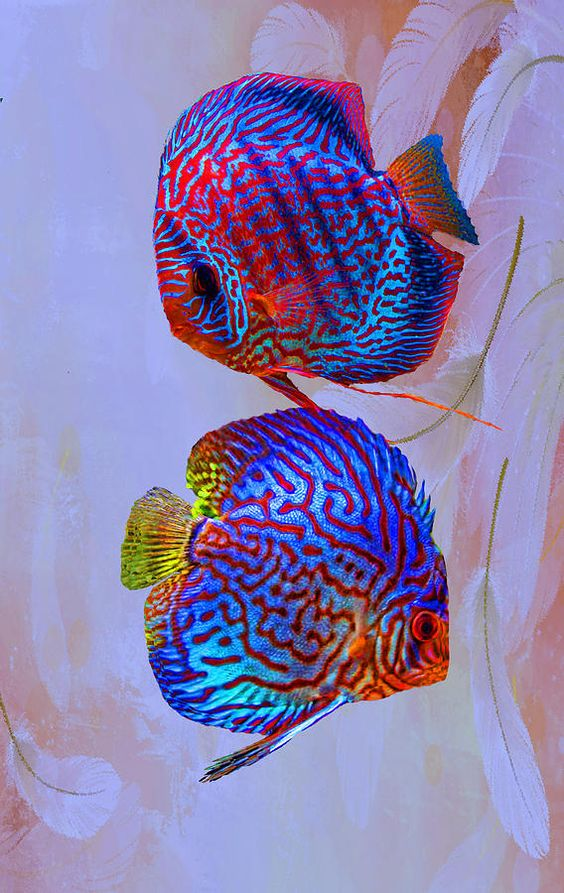 Not from the reef. These are beautiful freshwater fish. they are very hard to keep in an aquarium... Discus fish